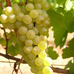 Meunier, Chardonnay, Pinot Noir