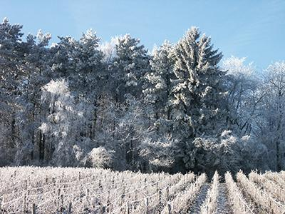 Vignes hiver11 400x300