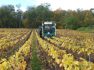 Vignes en Automne Mise en place es Ecorces Champagne Michel Hoerter
