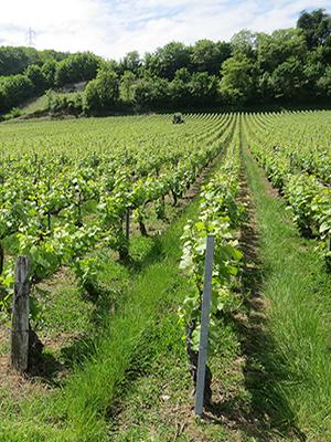 Vignes enherbées Champagne Michel Hoerter