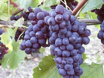 Pinot noir 2 400x300
